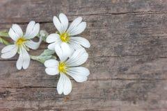 Sprig biali kwiaty na drewnianej tło kopii przestrzeni zdjęcia stock