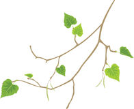 Sprig of birch. Isolated on the white. Illustration Royalty Free Stock Photography