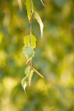 A sprig of birch with green leaves Royalty Free Stock Image
