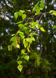 Sprig of birch Royalty Free Stock Images