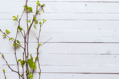Sprig of birch trees with leaves just blossoming on white painted wooden background.and empty space for text. Top view with copy. Sprig of birch trees with royalty free stock photo