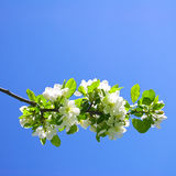 Sprig of a blossoming apple-tree Stock Photos