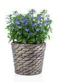 A sprig of blue lobelia in pot, Stock Photos