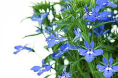 A sprig of blue lobelia Royalty Free Stock Image