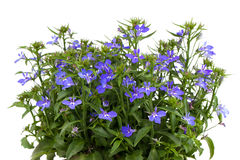 A sprig of blue lobelia Stock Images