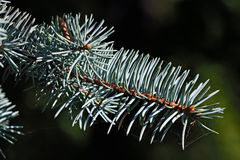Sprig of blue spruce closeup Royalty Free Stock Photo