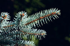 Sprig of blue spruce Royalty Free Stock Photo