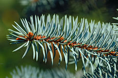 Sprig of blue spruce Stock Photo