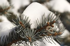 Sprig of blue spruce in the snow close-up Royalty Free Stock Photo