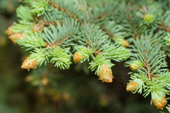 Sprig of blue spruce in spring Royalty Free Stock Photography