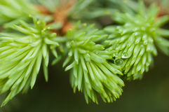 Sprig of blue spruce in spring Stock Photos