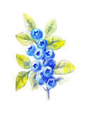 Sprig of blueberries in watercolor Stock Images