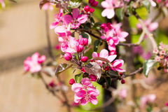 A sprig of brightly coloured Apple Blossom growing on a stem Royalty Free Stock Photography