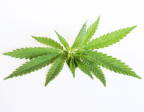 Sprig of cannabis Royalty Free Stock Photos