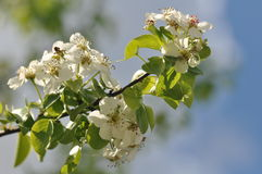 Sprig of cherries. In full bloom against a blurred blue sky and white clouds Stock Images