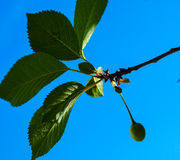 Sprig of cherry. Against the sky Stock Image