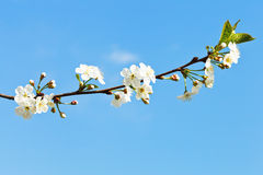 Sprig of cherry blossoms on blue sky Royalty Free Stock Photo
