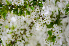 Sprig of cherry blossoms Stock Image