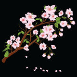 Sprig of cherry blossoms Sakura 2 Royalty Free Stock Photos