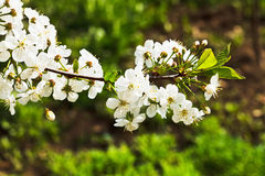 Sprig of cherry blossoms in spring forest Royalty Free Stock Images
