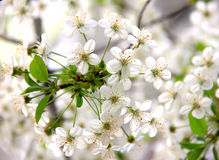 A sprig of cherry blossoms in spring white flowers Royalty Free Stock Photography