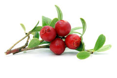 Sprig of cowberry with drops Stock Photo