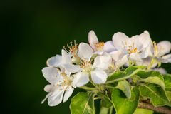 Sprig of Crab Apple Blossom, Malus sylvestris.  Royalty Free Stock Photography