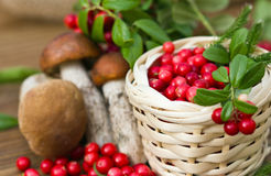 sprig of cranberries lying on a basket filled with red berries, on a background of mushrooms Royalty Free Stock Photography