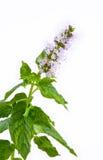 Sprig da hortelã com flor Imagem de Stock Royalty Free
