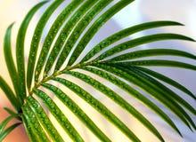 Sprig da palma Imagem de Stock
