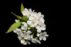 Sprig del fiore della pera Immagini Stock Libere da Diritti