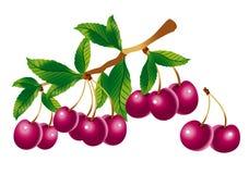 Sprig della ciliegia Immagine Stock