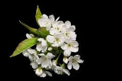 Sprig der Birnen-Blüte Lizenzfreie Stockbilder