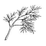 A sprig of dill the drawn contour. A sprig of dill painted a black outline Stock Photo