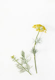 Sprig of dill with flowers on white old table. Botanical illustration of plant with flowers and dill sprig on a white isolated. Place for text Royalty Free Stock Image