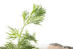 Sprig of dill and salmon slice. Royalty Free Stock Image