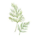 Sprig of dill. Watercolor illustration  on white backgroundn Royalty Free Stock Image