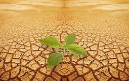 Sprig do Sprout na terra droughty Imagem de Stock