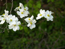 Sprig of dogwood. Branch of dogwood blossoms against a dark background royalty free stock photography
