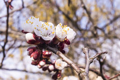 Sprig of early flowering apricots Royalty Free Stock Photo