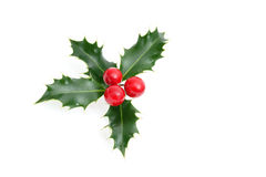 Sprig of European holly Royalty Free Stock Photo