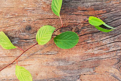 Sprig of Far Eastern Schisandra chinensis on old wooden backgrou Stock Photography