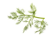 Sprig of fennel Stock Image