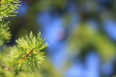 A sprig of fir Stock Image