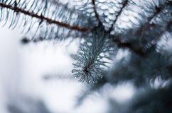 Sprig of fir Royalty Free Stock Image