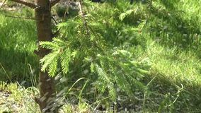 Sprig fir tree. Swaying in the breeze under the drops of water stock video footage
