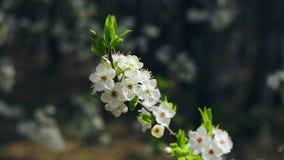 Sprig of flowering apple trees on wind stock footage