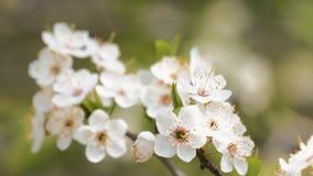 Sprig of flowering apple trees on wind stock video