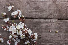 Textured wooden background on which lies a flowering branch of apricots stock photo