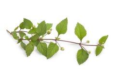 Sprig of flowering aztec sweet herb Stock Photo
